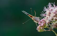 Mariposa De Cara