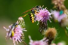 Single Bee On Thistle Flower, Bokeh Background
