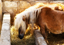Two Young Little Brown Pony Horse Eating Hay In A Stable On The Farm