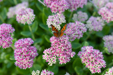 Butterfly Flaps Its Wings On A Pink Flower