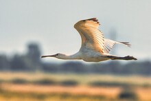 Closeup Shot Of A Spoonbill Flying In The Air