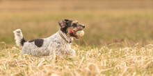 In Autums, A Cute Little Jack Russell Terrier Dog Running Fast And With Joy Across A Meadow With A Grid Ball In His Mouth.