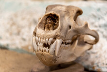 Skull Of A Grizzly Bear Close Up With Blurred Background.