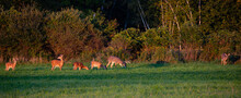 White-tailed Deer Buck, Doe And Fawns Feeding In A Wisconsin Hay Field In Early September