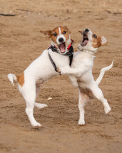 Rosco And Alice Sibling Rivalry With These 2 Jack Russell Terriers Is Lots Of Fun With Their Play Fighting