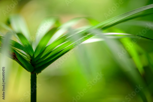Fototapeta Green Leaf of Cyperaceae family or sedges