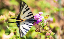 Scarce Swallowtail Butterfly With Blue And Orange Details Eating On The Flower
