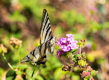 Scarce Swallowtail Butterfly With Blue And Orange Details Eating On The Flowers