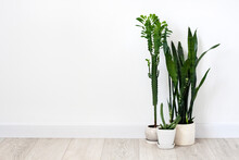 Potted Succulents (Euphorbia Trigona, Huernia And Sansevieria)