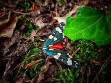Scarlet Moth Resting On The Ground