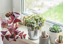 Various Herbaceous Houseplants, Cacti And Succulents In Pots On Windowsill.