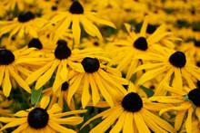 Yellow Rudbeckia (black Eyed Susan) Field