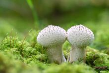 Common Puffball Fungus (Lycoperdon Perlatum) On Green Moss In The Forest.