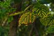Wczesna jesień. Jesienny barwny liść. Early autumn. Autumn colored leaf .