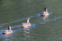 Three Ducks Swimming In A Row On Water