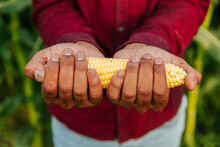 Close Up Top View Of Farmer's Afro Hands Holding Fresh Harvested Yellow Corn Cob On Summer Cornfield Background. Sustainable Food, Local Farming. Copy Space.