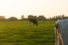 Brittany Black And White Cows Grazing On A Green Grass Field In The Bretagne Region, France. Summer Rural Landscape And Cow Pasture. Black And White Breton Pie Noire Calf And Cows Grazing In A Field