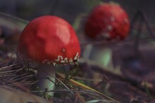 Amanita Muscaria, Euro-Asian Fly Agaric, Fly Agaric, Fly Amanita. Two Red Fly Agarics With White Spots On The Forest Floor. Outdoors. Red Amanita Close-up. Autumn Background With Red Mushrooms.