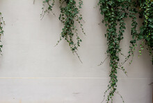 Green Ivy Vines And Leaves Partially Covering A Vintage White European Stone Wall Texture Background