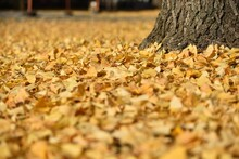 Field Covered With Yellow Leaves Of Ginkgo