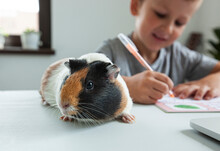 Young Pupil Making His Homework With His Friend Guinea Pig  At The Desk In Home