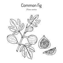 Common Fig Ficus Carica . Hand Drawn Vector Illustration