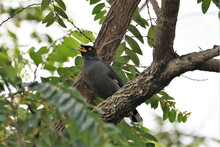 Common Mynah Bird With The Leaf In The Beak Perched On A Tree Branch In The Forest