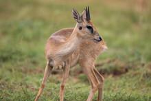 Free Ranging Male African Antelope The Oribi