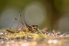 Southern Wartbiter Katydid Grasshopper