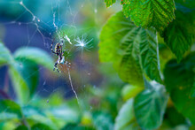 The Argiopa (Argiope Lobata Pall) Spider In The Web Eats Its Insect Victim Against The Background Of Green Foliage.