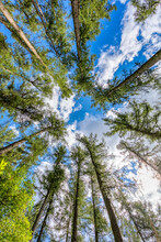 Tall Pine Tree Tops Against Blue Sky And White Clouds, Highland Region, Vysocina Czech Republic