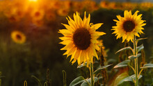 Warm Summer Sunsets Over A Sunflower Field. Selective Focus. Sunflowers At Sunset. Landscapes Of Sunflower Fields. Field Of Blooming Sunflowers.