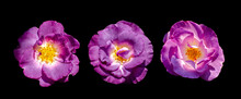 Cut Out Flower On Isolated Background With Clipping Path