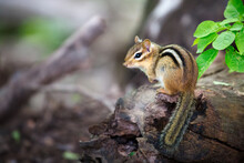 Eastern Chipmunk On A Tree Trunk