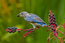 Juvenile Eastern Bluebird - Sialia Sialis - Eating Phytolacca Americana, Also Known As American Pokeweed