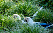 Strange Couple Of Macaw, Parrot, Albino Or With White Skin And Plumage