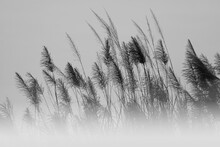 Soft And Blurred Grass Flowers In Aesthetic Nature Of Early Morning Misty Sky Background. Quiet And Calm Image In Minimal Zen Mood. Autumn Nature Background In Black And White.