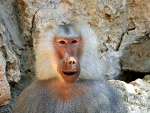 The Baboon Is Making Faces, Possibly Rehearsing The Role Of Hamlet.