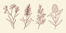 Hand Drawn Kangaroo Paw, Bottlebrush, Boronia, Banksia. Australian Native Flowers