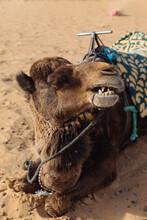 Camel Resting On Sandy Land In Sunlight
