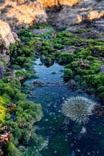 Sea Anemone Living In A Rock Pool Among The Moss