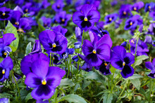 Selective Focus, Several Species In The Melanium Section Of The Viola Genus, Particularly The Blue Pansy, A Wildflower Species Of Europe And Asia.