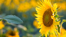 Large Yellow Sunflower For Background. Yellow Sunflowers In Sunlight. Good Harvest Concept, Bright Sunny Flower. Farming, Vegetable Garden, Field, Growing Seeds For Oil. Close-up