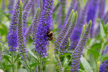 Bumblebee On A Lupine Flower.