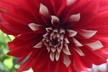 Red Dahlia Flower Macro