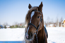 Portrait Of The Head Of A Bay Horse On A Sunny Winter Day Against The Background Of A Forest And A Blue Sky
