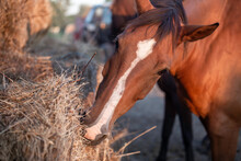 Horse Head Eating Hay From A Bale. Feeding Horses On The Farm. Animals Care
