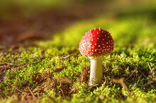 Red Small Fly Agaric Mushroom In A Forest Growing From Green Moss