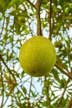 Close Up Fresh Green Cerbera Odollam Fruit In Nature Garden