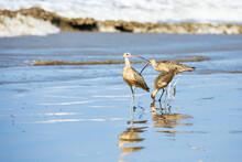 Long Billed Curlews